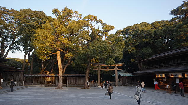 Big old trees in the center of the Meiji shrine courtyard, catching the golden setting sun rays.