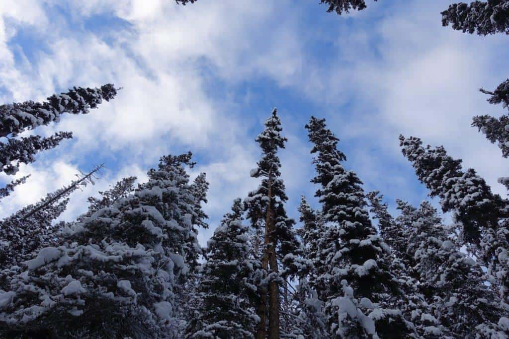 Canopy of snow capped fir along the hiking trail to Agnes Falls