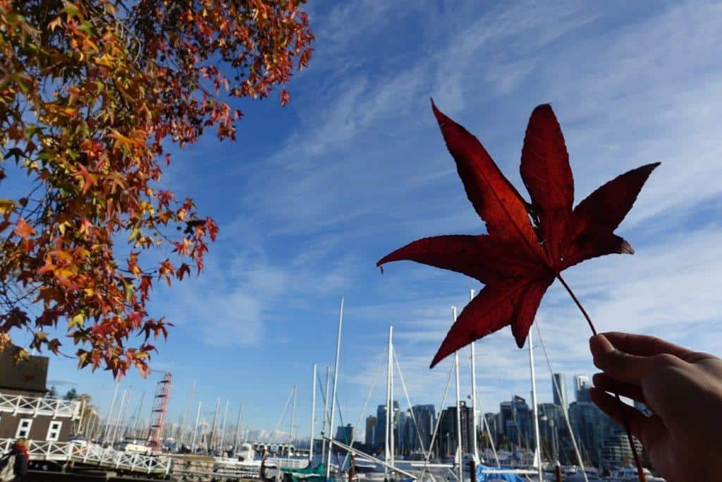 The leaves and the skies on a Autumn beautiful day in Stanley Park