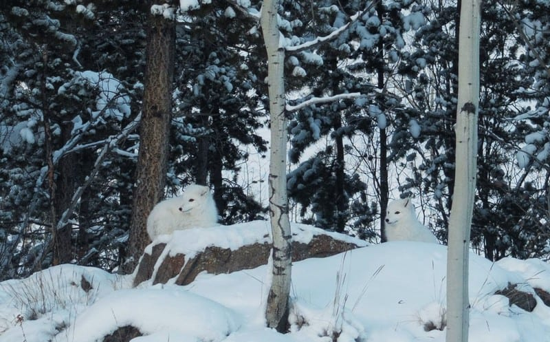 Adorable fluffy arctic fox completely blended into the snow
