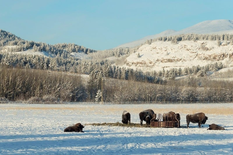 Wildlife in Whitehorse I Dark Brown wood Bisons munching away in their field when the bunch of hay arrived
