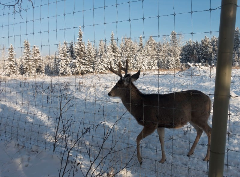Wildlife in Whitehorse I Lone curious elk walking on his own pass us to have a look at us strange humans