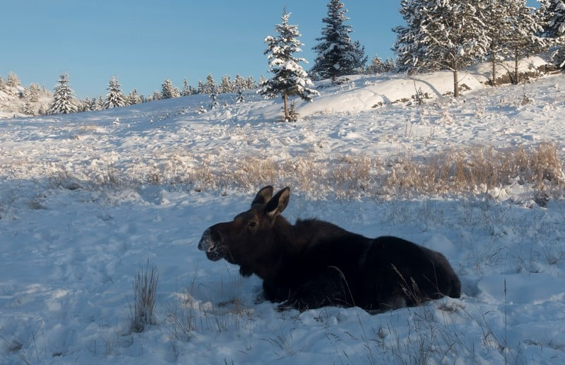Wildlife in Whitehorse I Lone female teenager moose in the field