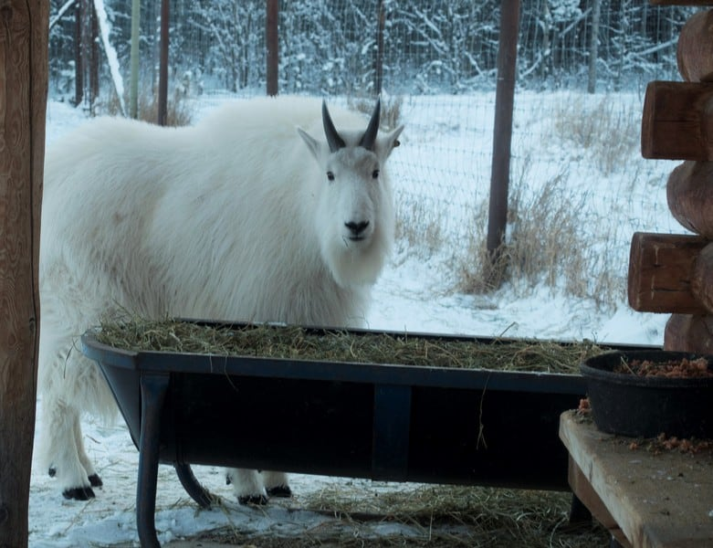 winter wildlife of whitehorse Pretty white mountain goat staring at me while in munches its food