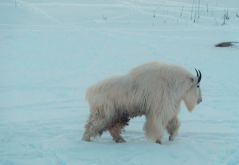 winter wildlife of whitehorse- The perculiar looking but majestic snow rock mountain goat trotting along in his pen